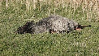 GMINA PRZEMKÓW. Wilki zagryzły stado owiec?