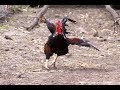 Angry Rooster Chasing People And Animals - Funny Roosters Attack Videos Compilation 2018 [BEST OF]