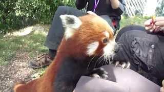 Red Panda Close Encounter @ the Wellington Zoo
