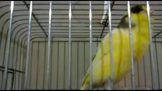 BÜLBÜL ÖTÜMLÜ ŞOV 4(ÜMİT MİDİLLİ) ( Nightingale Song - canary- sing sing -YouTube )
