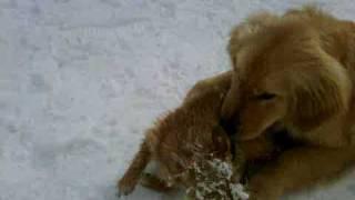 Koa And Heidi The Chihuahua And Westie Mix.3gp