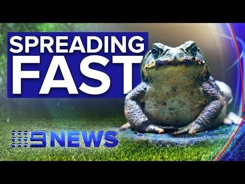 'Super' Cane Toads Sweeping Across Northern Australia | Nine News Australia
