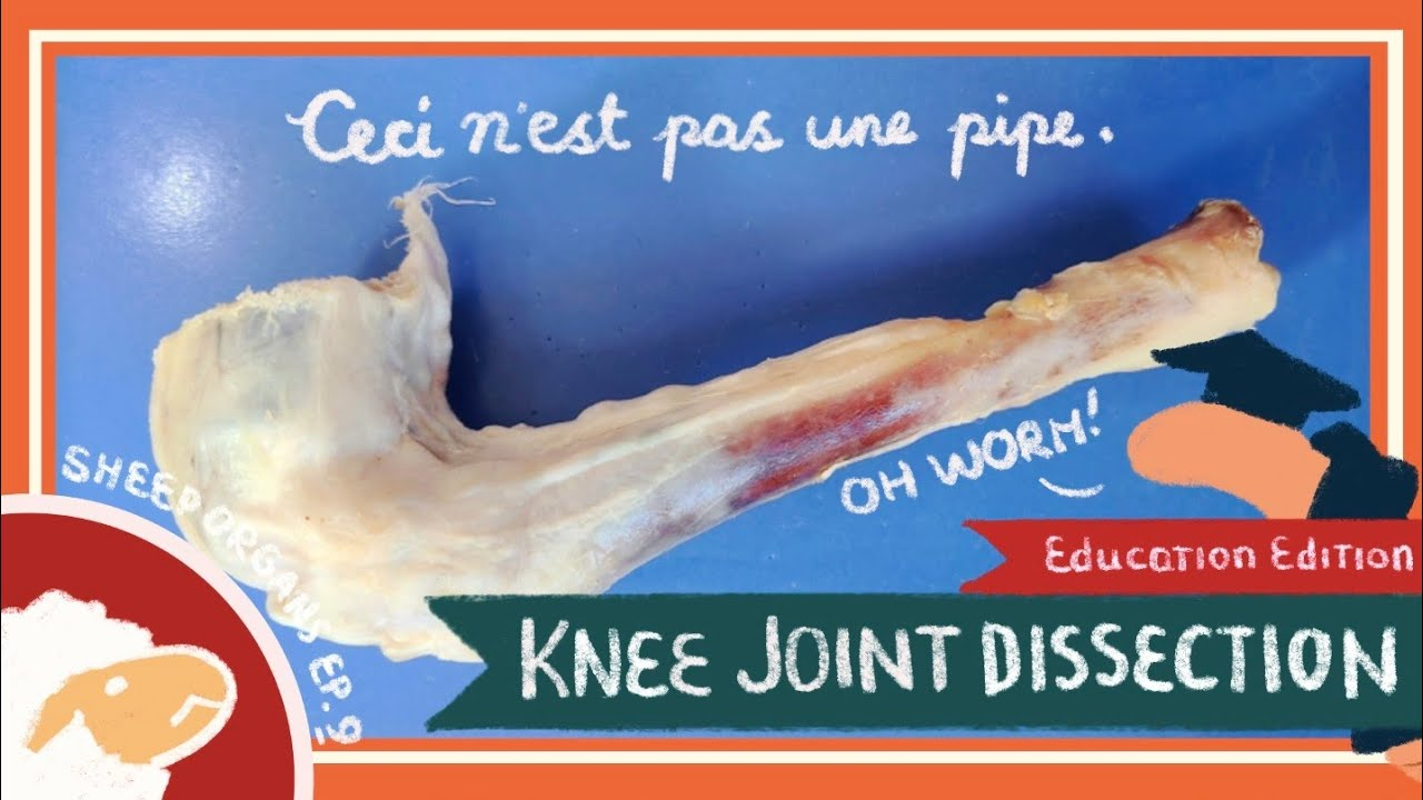 Knee Joint Dissection || The Time is Out of Joint