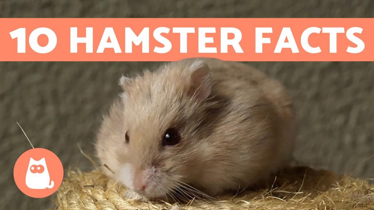 Hamster Not Eating Or Drinking - Causes & What To Do