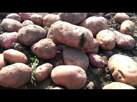 Урожай картофеля 2018г