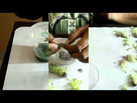 Preparation of Samolus sp and Lobelia cardinalis