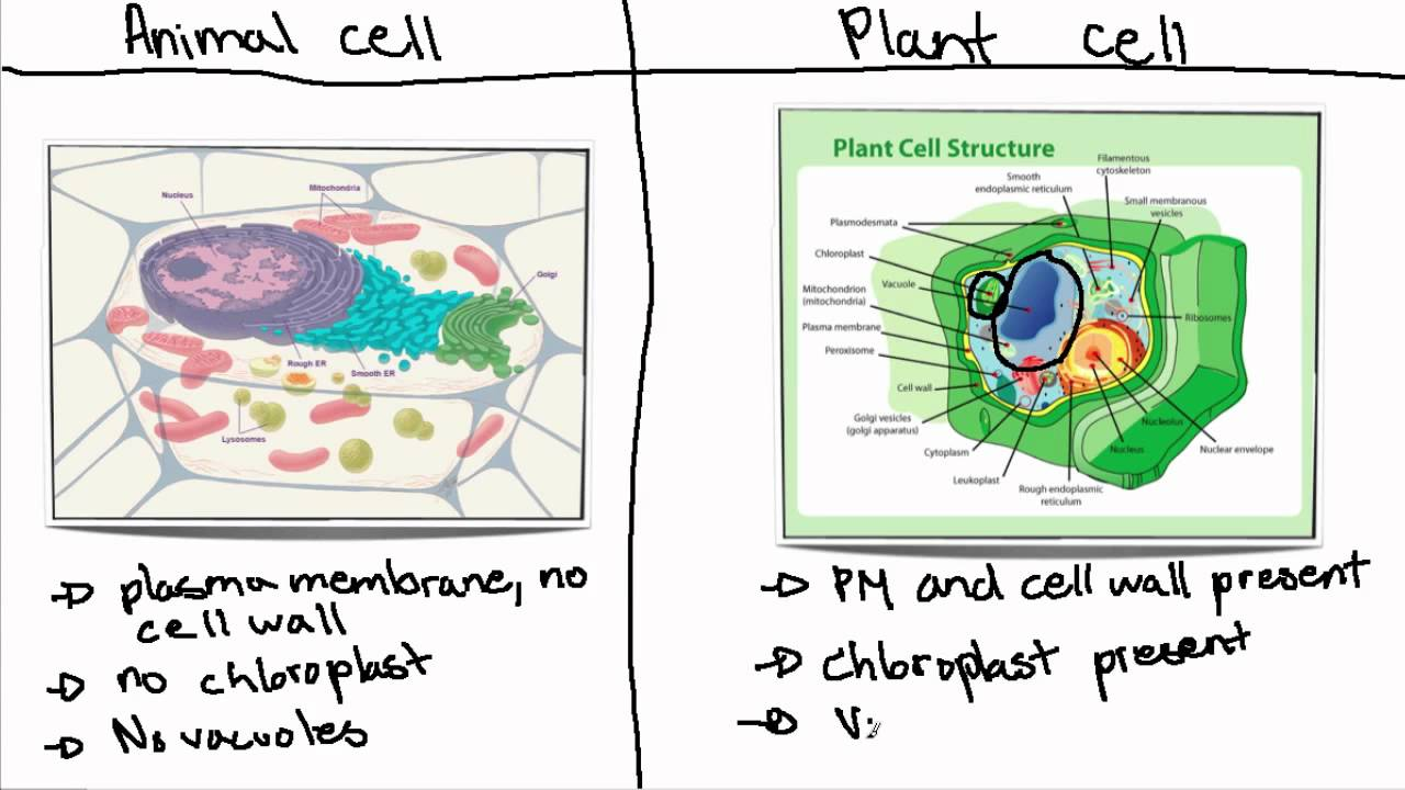 essay comparing plant and animal cells Description of the eukaryotic animal cell by kayla underwood general description the animal cell is the basic unit of life in the animal body cells are.