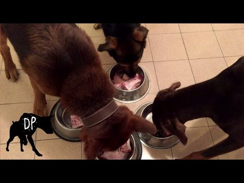 Pack of dogs eating raw pork feet | Raw Feeding Dogs