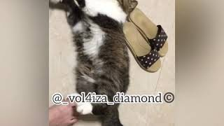 Порода Экзот   Забавный кот Экзот   Exotic cat