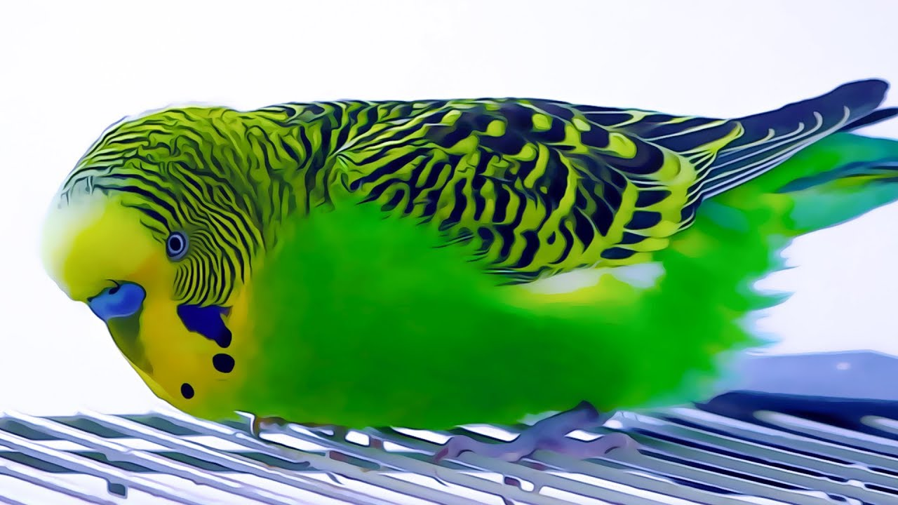 Singing Budgie flock for Lonely Budgies | Budgie sounds - Parakeet Sounds
