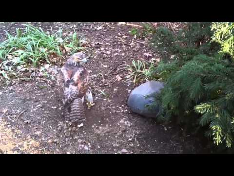 Silent Interview with New York City's Red Tailed Hawk