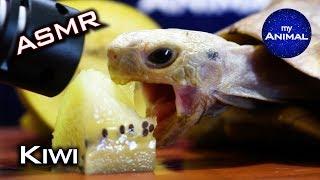 Tortoise Eating Kiwi AŠMR Turtle 🐢13