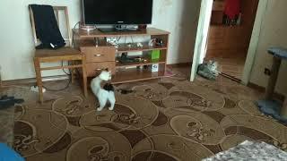 Умная кошка, носит мячик