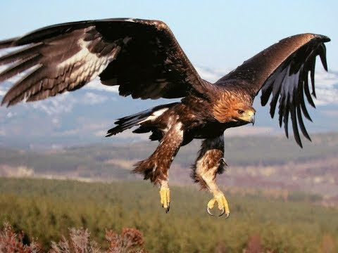 وثائقي طائر العقاب  The Eagle Bird Documentary