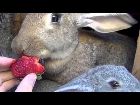 Big Flemish Giant Bunny Rabbit with babies are eating strawberry