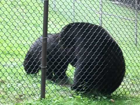 Black Bears Fighting