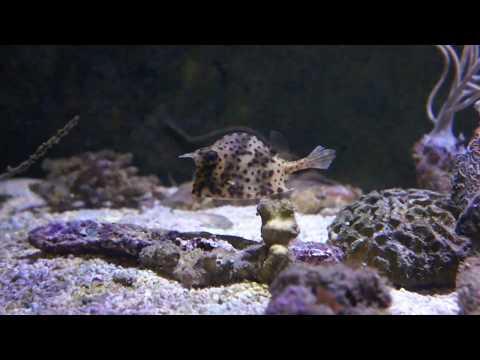 Scrawled Cowfish In Marine Aquarium
