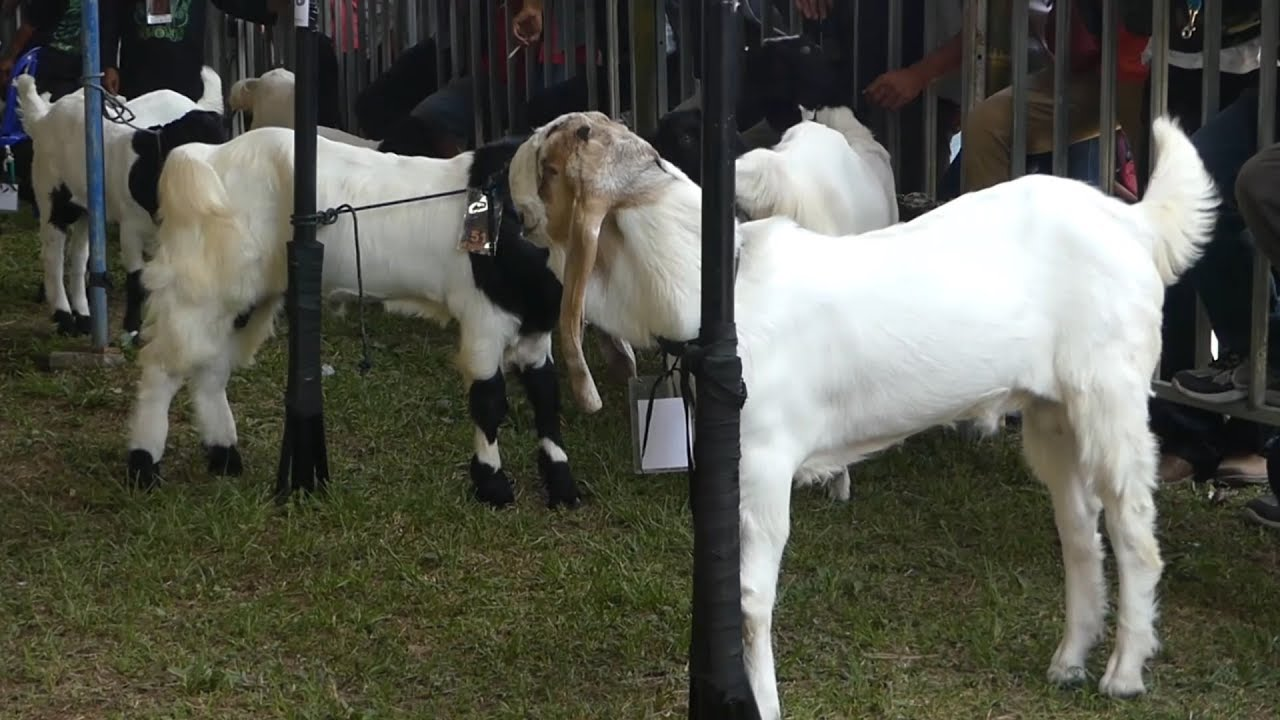 Hasil gambar untuk kambing etawa