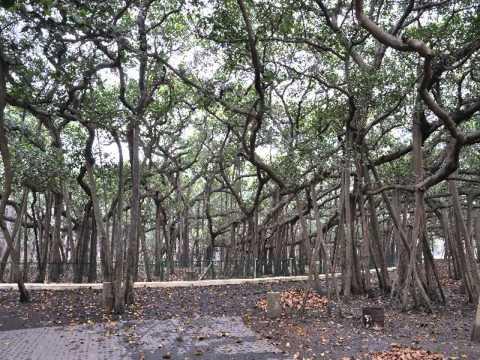 ต้นไทร ทํารั้ว ทํานาย ฝัน ต้นไทร
