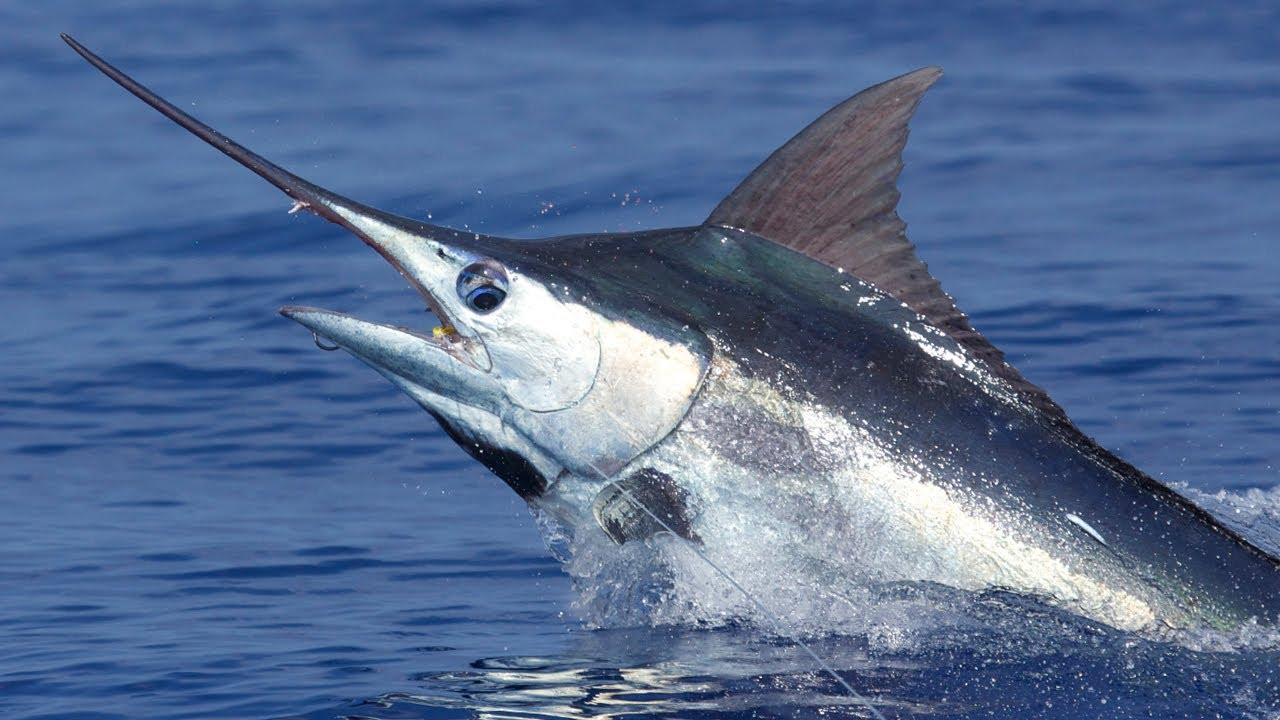marlin - photo #1
