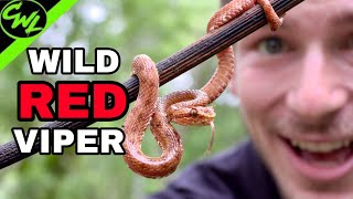 WILD RED VIPER!!!