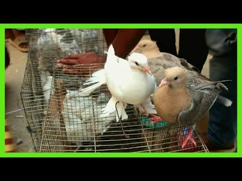 Chila pigeon pair price | Giribaz kabootar video | High flyer pigeon