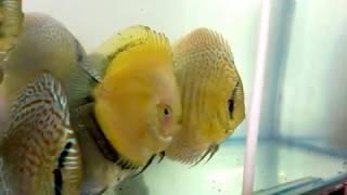 Discus fish in india....