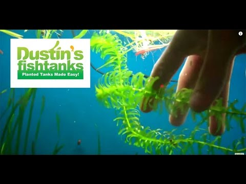 How to grow anacharis elodea: Elodea Species Sunday's