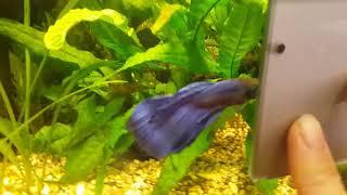 аквариумная рыбка петушок и зеркальце