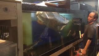 大型魚大量搬出の週末映像(ノーザンみしま)