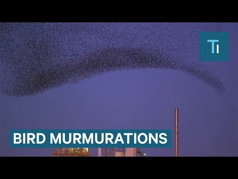 These Birds Make Amazing Black Clouds In The Sky