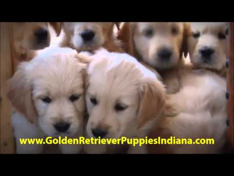 golden-retriever-puppies-for-sale-indiana---see-video!