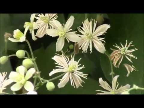 Клематис мелкоцветковый, цветение.