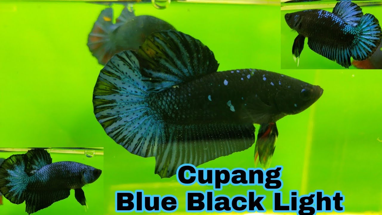 Review Cupang Bbl Blue Black Light Youtube