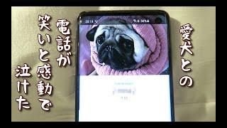 しばらく会ってない愛犬と電話してみたらオモロすぎたパグ犬ぷぅ Pug thumbnail