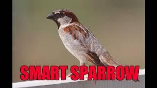 Suara Burung Smart Sparrow Sangat Cocok Buat Master Kenari Isian