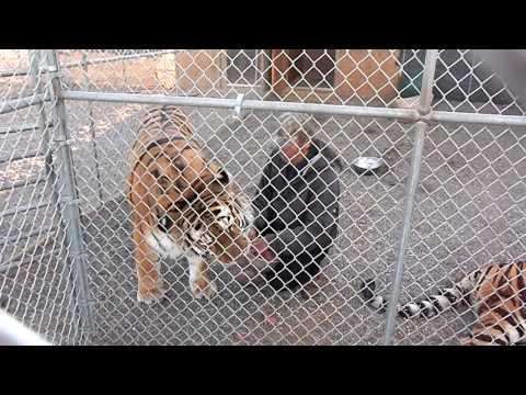 Feeding 500 LB Siberian Tiger