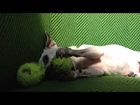 Betsy battles 3 mini tennis balls and occasionally a chair