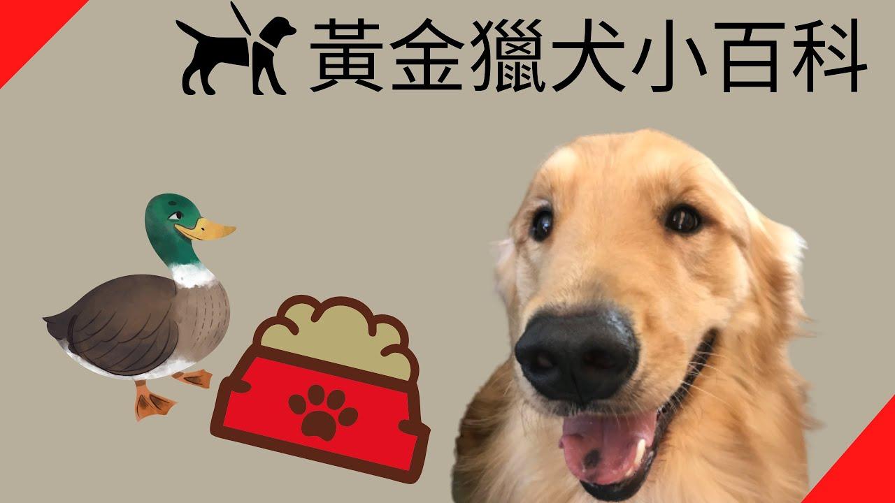 黃金獵犬小百科【品種動物系列】