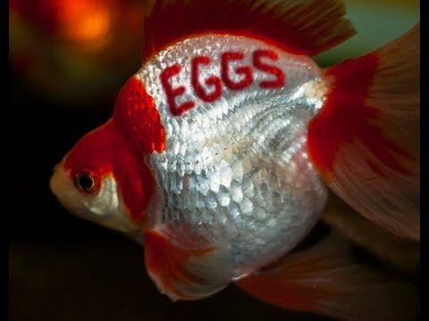 Ryukin Goldfish Eggs  Day 1