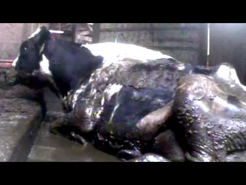 VEGAN - Eat Less Animals Factory Farms make HUNTING seem nice! Meat Chicken Pig Fish Cow Egg Abuse
