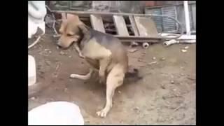 31 Çeken Köpek (Komik)