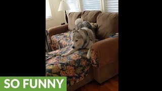 Frisky husky convinces owner to play with him