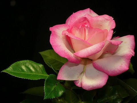 Beautiful and Romantic Rose Flowers Pictures