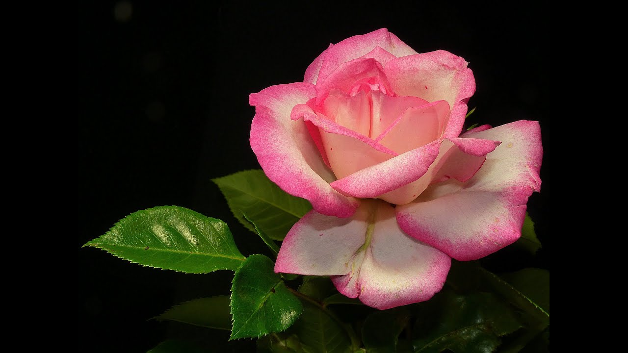 Beautiful And Romantic Rose Flowers Pictures Youtube