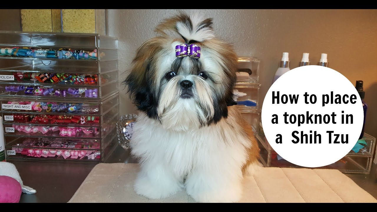 How To Place A Topknot In A Shih Tzu Youtube