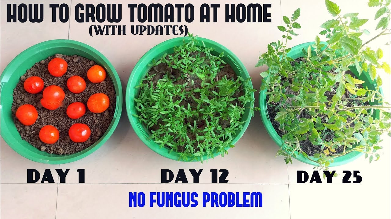How To Grow Tomato At Home Easiest Method Ever With Updates