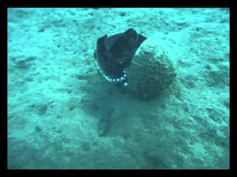 A Coconut Carrying Octopus