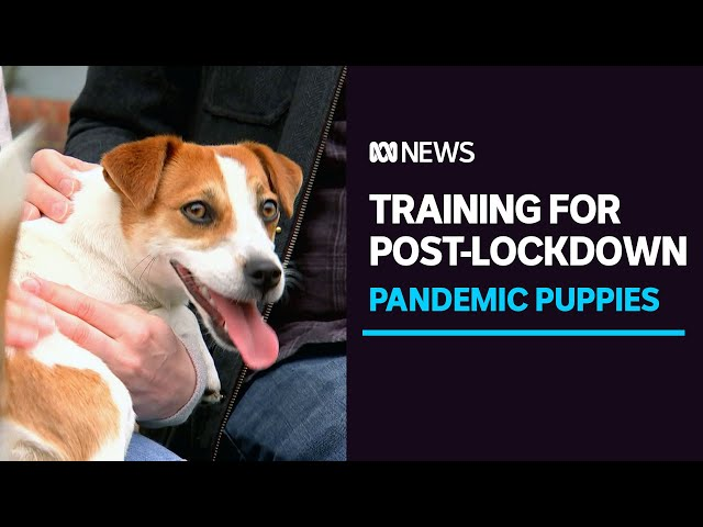 Did your puppy miss out on preschool training during lockdown? | ABC News
