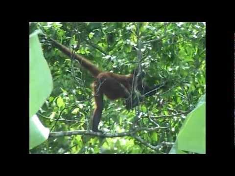 singe araignée Costa Rica 2005